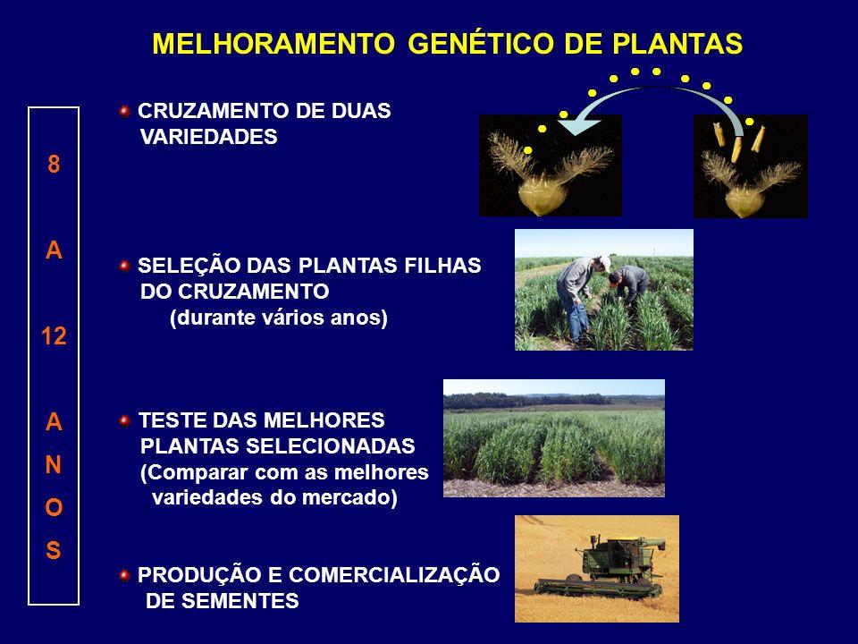 MELHORAMENTO GENÉTICO DE PLANTAS CRUZAMENTO DE DUAS VARIEDADES SELEÇÃO DAS PLANTAS FILHAS DO CRUZAMENTO (durante vários anos) TESTE DAS MELHORES PLANT