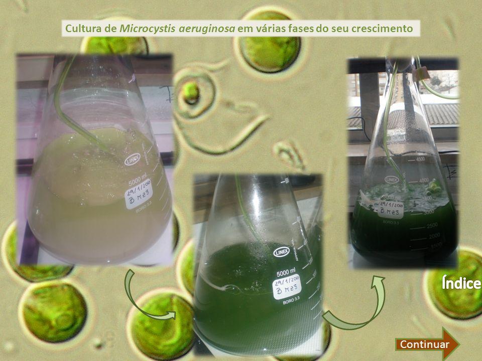 Cultura de Microcystis aeruginosa em várias fases do seu crescimento Continuar