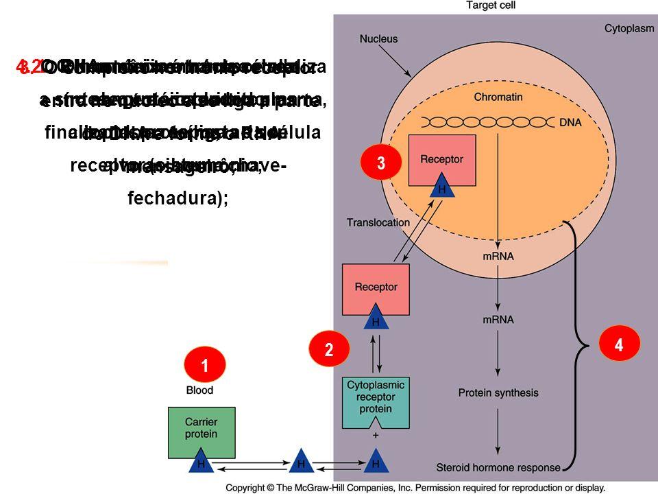1 2 3 4 1.O hormônio é transportado no sangue acoplado a uma proteína; 2.O hormônio entra na célula- alvo e no interior do citoplasma se liga ao seu r