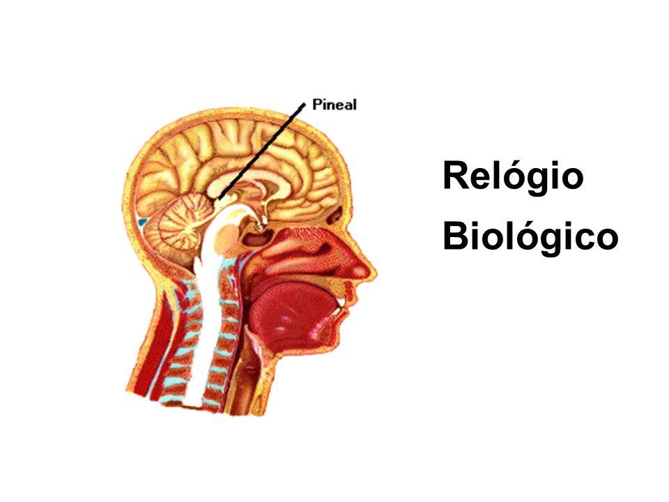 É o Centro de Controle do comportamento Interno e ativador das Glândulas Endócrinas HIPOTÁLAMO PINEAL ou EPÍFISE Estimulada pela escuridão Inibida pel