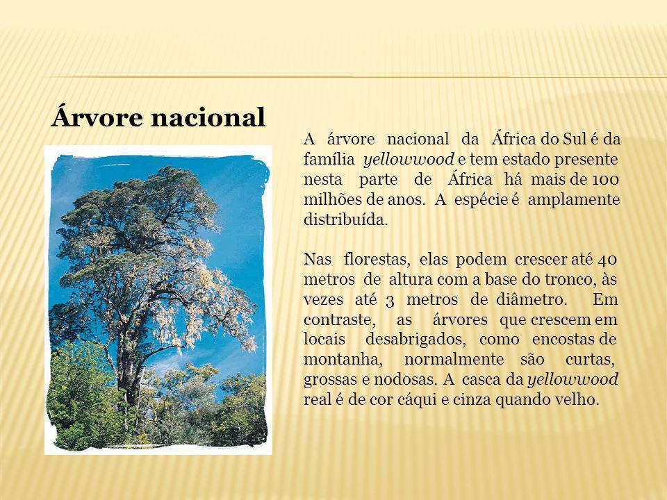 A árvore nacional da África do Sul é da família yellowwood e tem estado presente nesta parte de África há mais de 100 milhões de anos. A espécie é amp