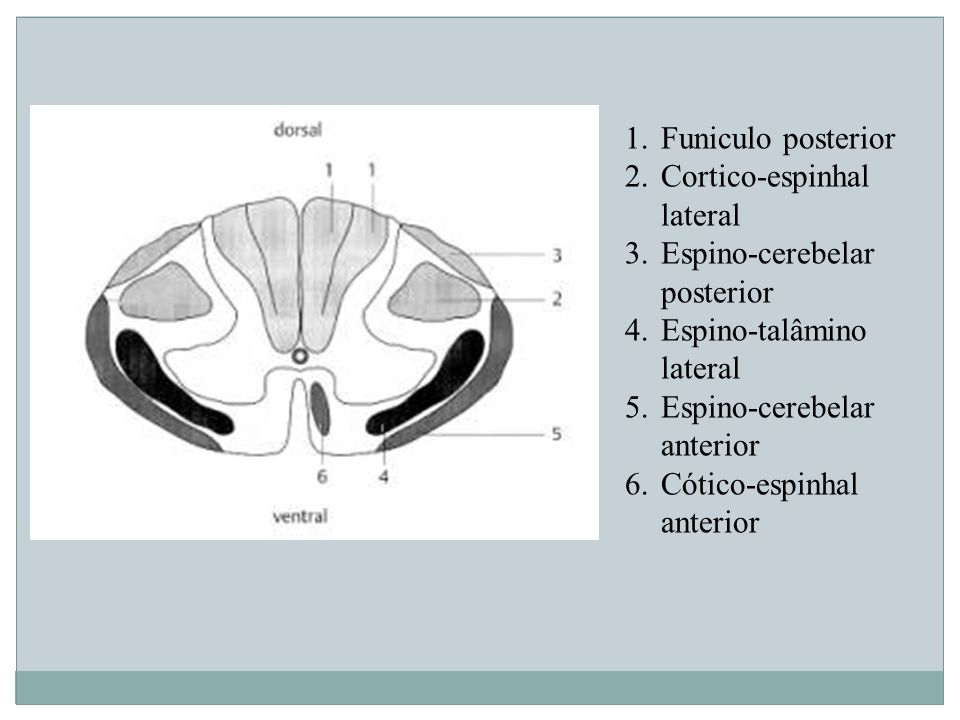 1.Funiculo posterior 2.Cortico-espinhal lateral 3.Espino-cerebelar posterior 4.Espino-talâmino lateral 5.Espino-cerebelar anterior 6.Cótico-espinhal a