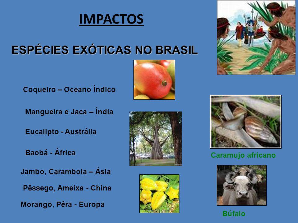 IMPACTOS ESPÉCIES EXÓTICAS NO BRASIL Caramujo africano Búfalo Coqueiro – Oceano Índico Mangueira e Jaca – Índia Eucalipto - Austrália Jambo, Carambola