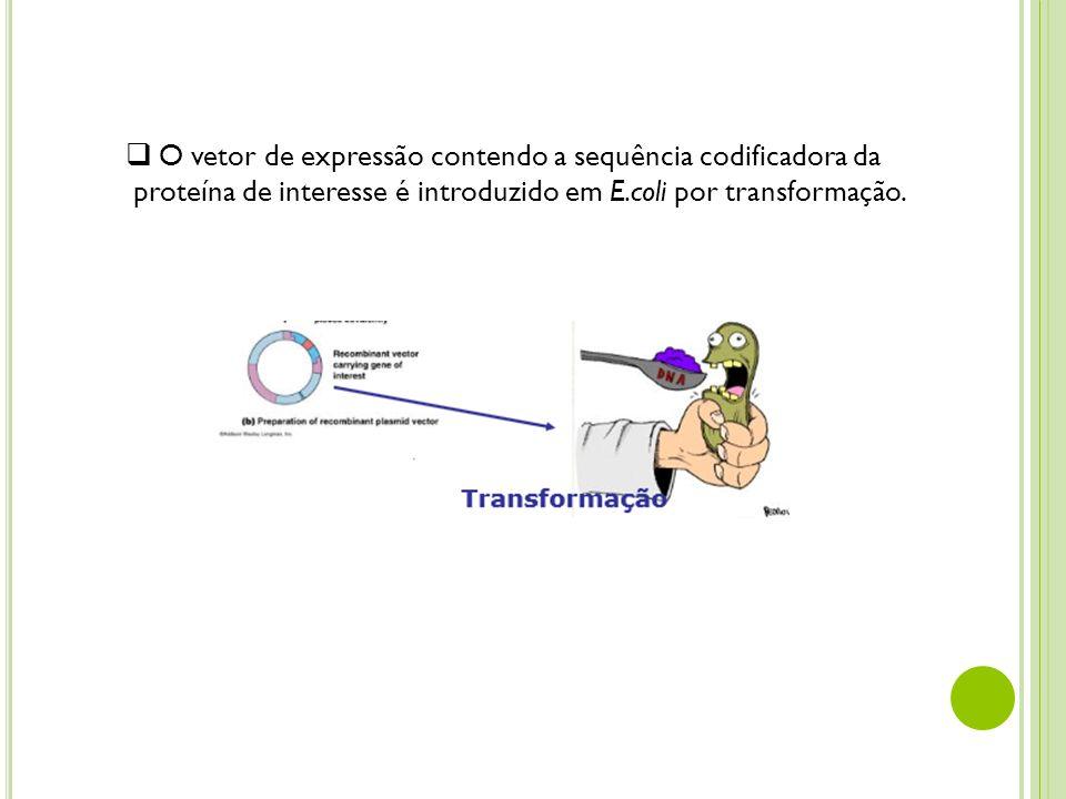 O vetor de expressão contendo a sequência codificadora da proteína de interesse é introduzido em E.coli por transformação.