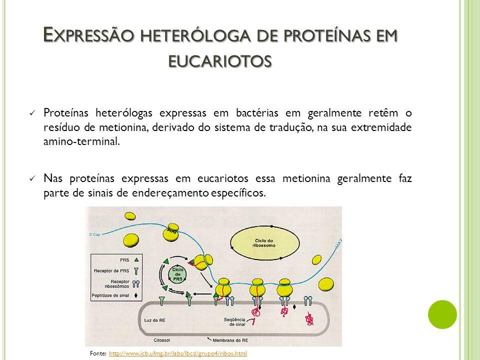 E XPRESSÃO HETERÓLOGA DE PROTEÍNAS EM EUCARIOTOS Proteínas heterólogas expressas em bactérias em geralmente retêm o resíduo de metionina, derivado do