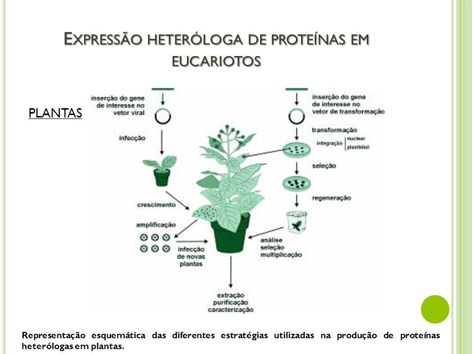 E XPRESSÃO HETERÓLOGA DE PROTEÍNAS EM EUCARIOTOS PLANTAS Representação esquemática das diferentes estratégias utilizadas na produção de proteínas hete