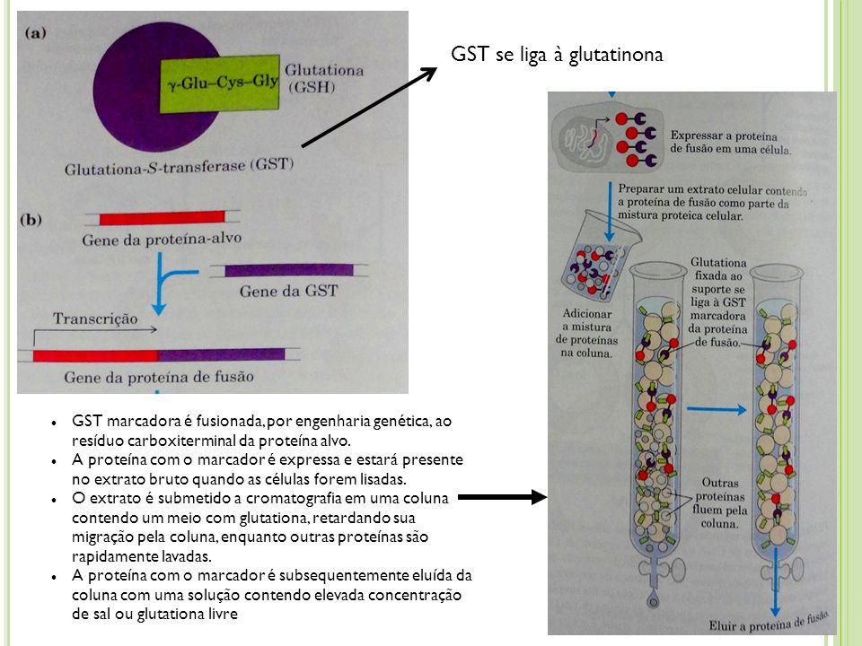 GST se liga à glutatinona GST marcadora é fusionada, por engenharia genética, ao resíduo carboxiterminal da proteína alvo. A proteína com o marcador é