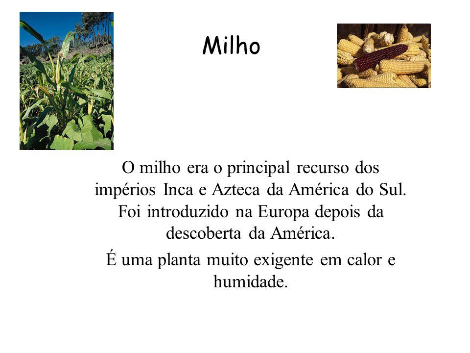 Milho O milho era o principal recurso dos impérios Inca e Azteca da América do Sul.