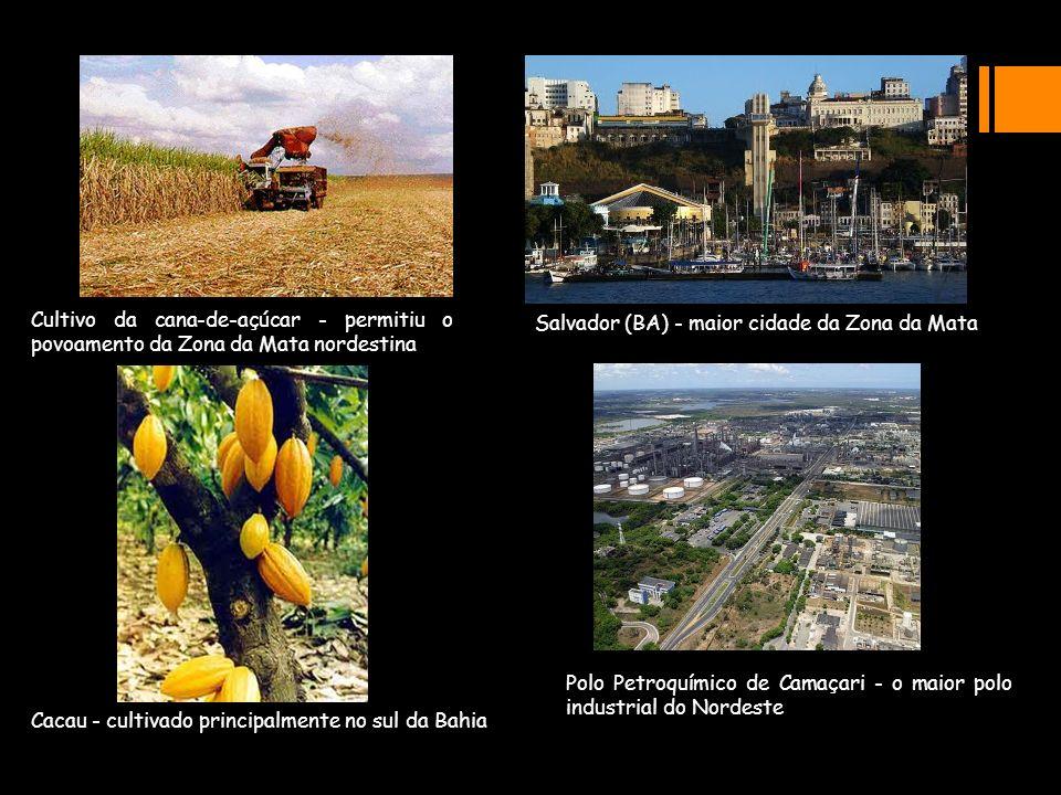Cultivo da cana-de-açúcar - permitiu o povoamento da Zona da Mata nordestina Salvador (BA) - maior cidade da Zona da Mata Cacau - cultivado principalm