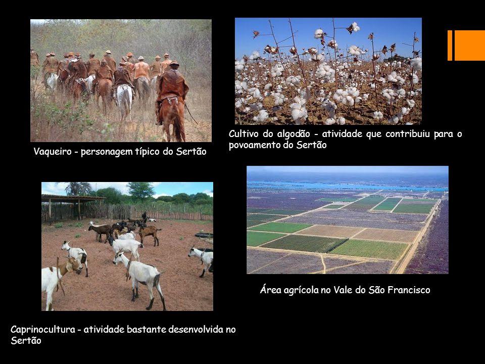 Vaqueiro - personagem típico do Sertão Cultivo do algodão - atividade que contribuiu para o povoamento do Sertão Caprinocultura - atividade bastante d