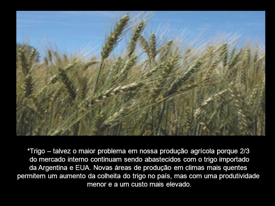 *Trigo – talvez o maior problema em nossa produção agrícola porque 2/3 do mercado interno continuam sendo abastecidos com o trigo importado da Argentina e EUA.