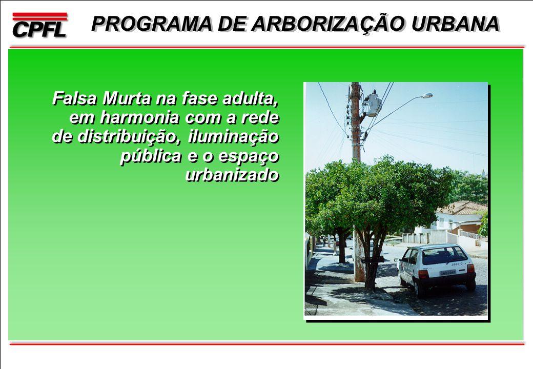PROGRAMA DE ARBORIZAÇÃO URBANA Falsa Murta na fase adulta, em harmonia com a rede de distribuição, iluminação pública e o espaço urbanizado