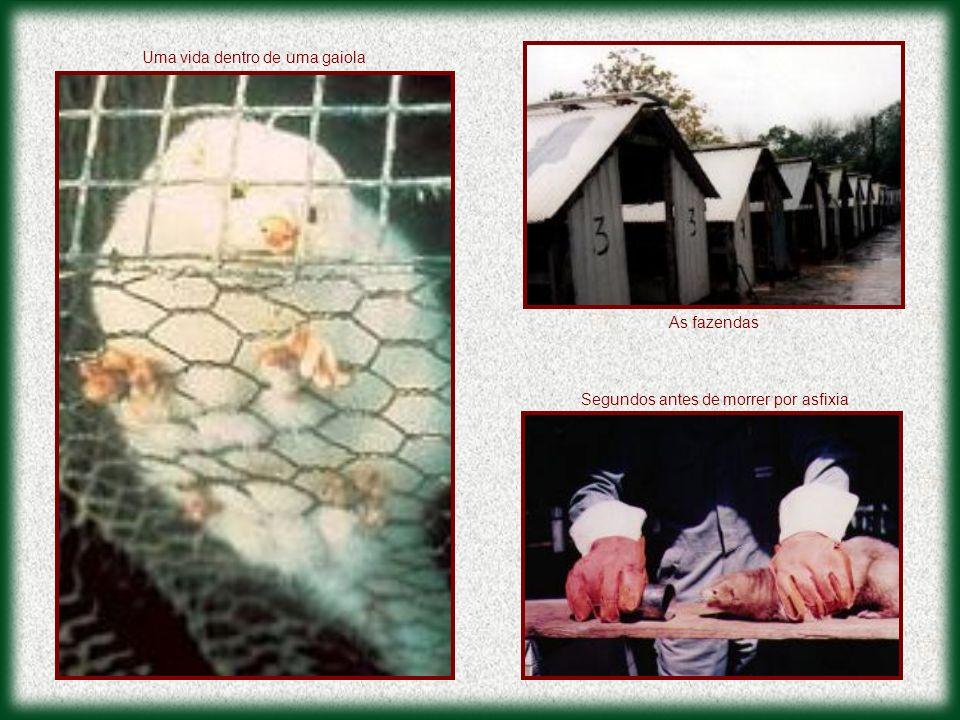 As fazendas Segundos antes de morrer por asfixia Uma vida dentro de uma gaiola