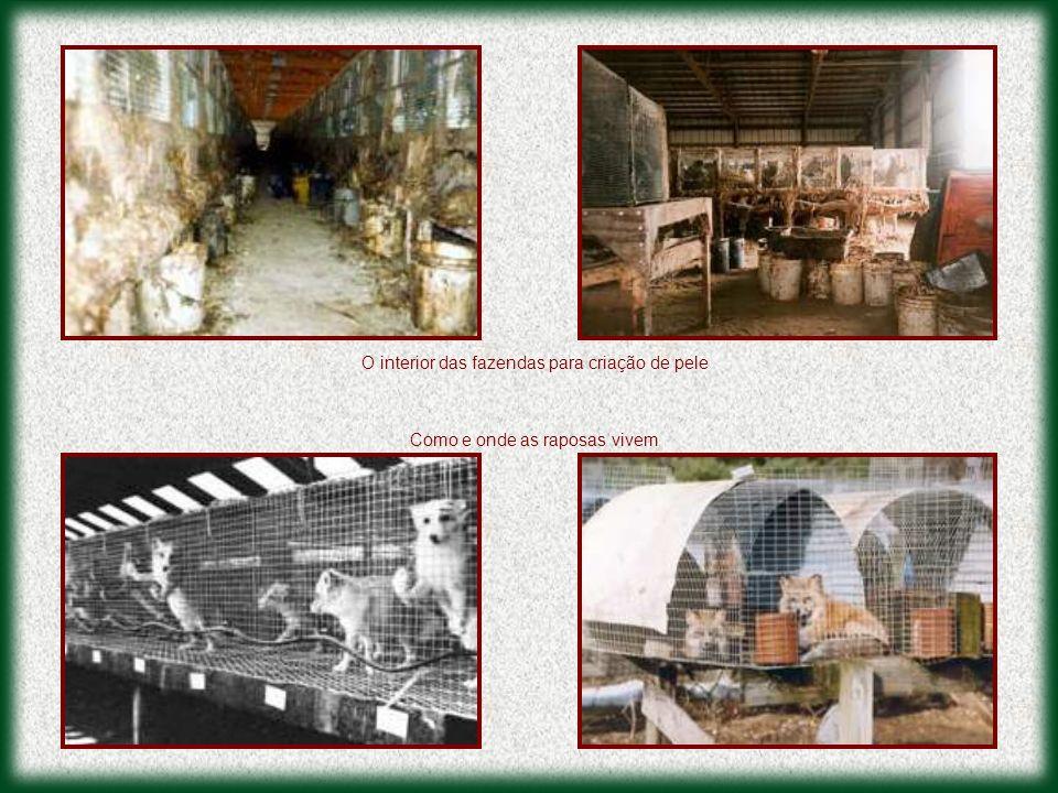 O interior das fazendas para criação de pele Como e onde as raposas vivem