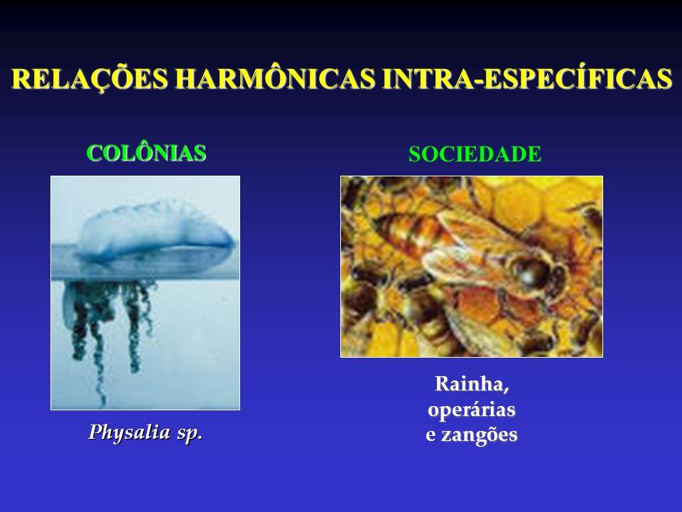 RELAÇÕES HARMÔNICAS INTRA-ESPECÍFICAS COLÔNIAS Physalia sp. SOCIEDADE Rainha,operárias zangões e zangões