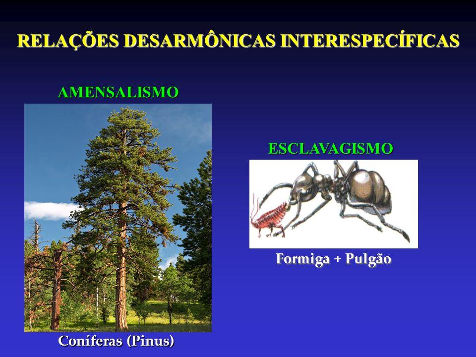 RELAÇÕES DESARMÔNICAS INTERESPECÍFICAS AMENSALISMO ESCLAVAGISMO Coníferas (Pinus) Formiga Pulgão Formiga + Pulgão