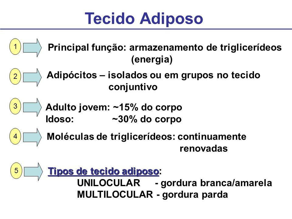 Tecido Adiposo Principal função: armazenamento de triglicerídeos (energia) Adipócitos – isolados ou em grupos no tecido conjuntivo Adulto jovem: ~15%