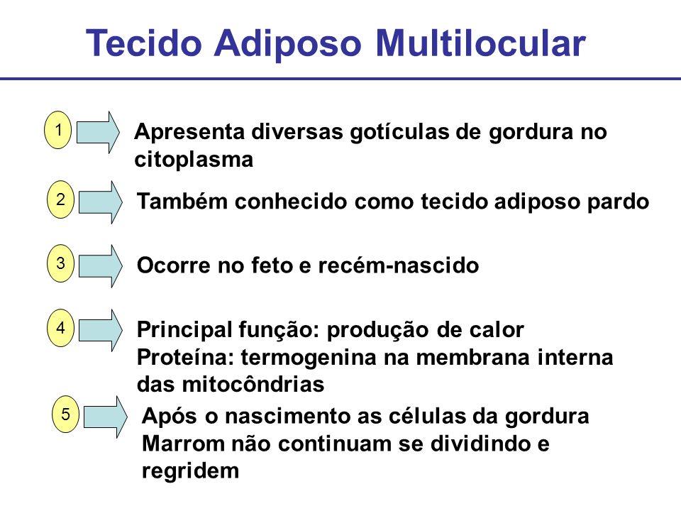 Tecido Adiposo Multilocular Apresenta diversas gotículas de gordura no citoplasma 1 Também conhecido como tecido adiposo pardo 2 Ocorre no feto e recé