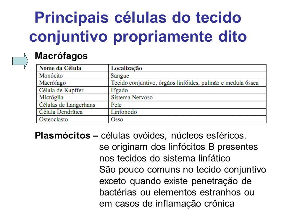 Principais células do tecido conjuntivo propriamente dito Macrófagos Plasmócitos – células ovóides, núcleos esféricos. se originam dos linfócitos B pr