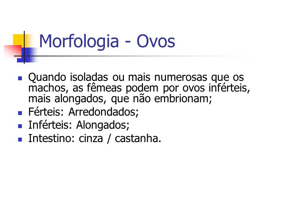 Morfologia - Ovos Quando isoladas ou mais numerosas que os machos, as fêmeas podem por ovos inférteis, mais alongados, que não embrionam; Férteis: Arr