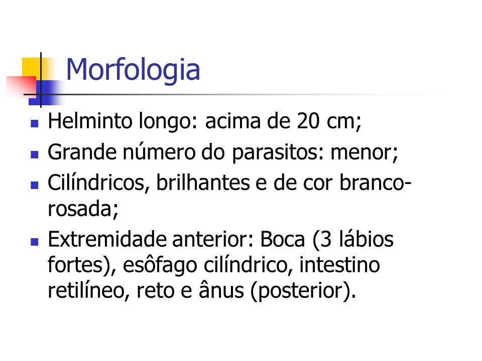 Morfologia Helminto longo: acima de 20 cm; Grande número do parasitos: menor; Cilíndricos, brilhantes e de cor branco- rosada; Extremidade anterior: B