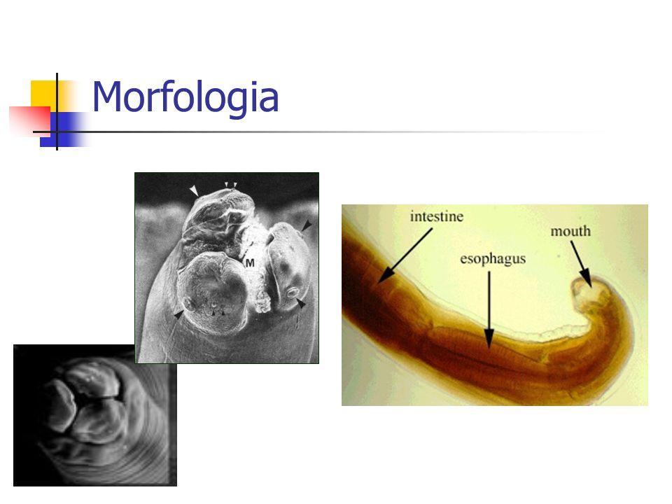 Morfologia - Fêmea 35 – 40 cm; 5,0 mm de largura; Extremidade posterior retilínea; Vulva, vagina, 2 ramos uterinos e 1 ovário (1m); 27 milhões de óvulos / 200 mil ovos por dia.