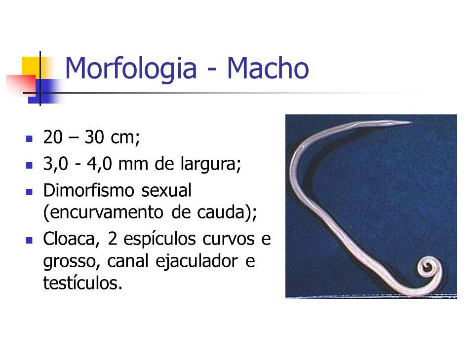 Morfologia - Macho 20 – 30 cm; 3,0 - 4,0 mm de largura; Dimorfismo sexual (encurvamento de cauda); Cloaca, 2 espículos curvos e grosso, canal ejaculad