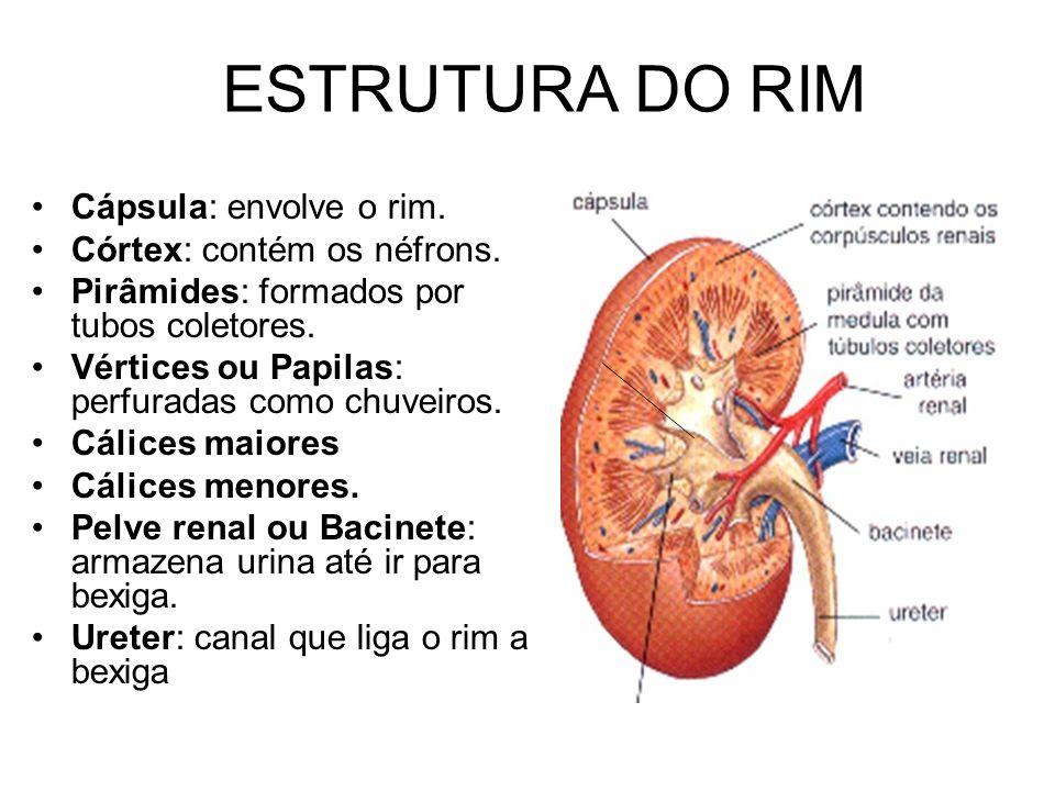 ESTRUTURA DO RIM Cápsula: envolve o rim. Córtex: contém os néfrons. Pirâmides: formados por tubos coletores. Vértices ou Papilas: perfuradas como chuv