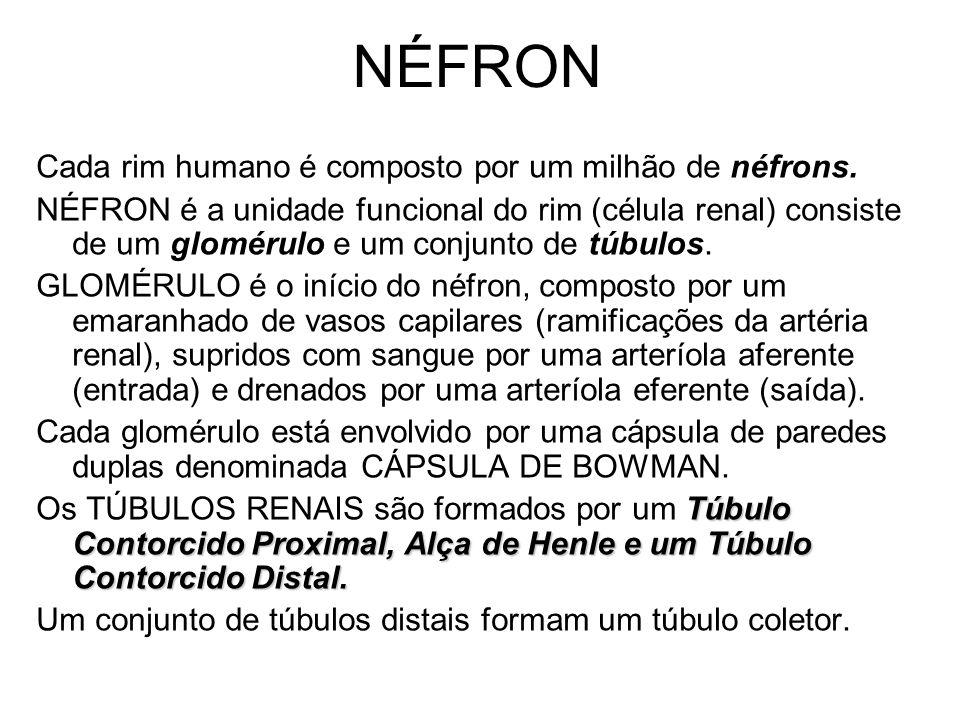 NÉFRON Cada rim humano é composto por um milhão de néfrons. NÉFRON é a unidade funcional do rim (célula renal) consiste de um glomérulo e um conjunto