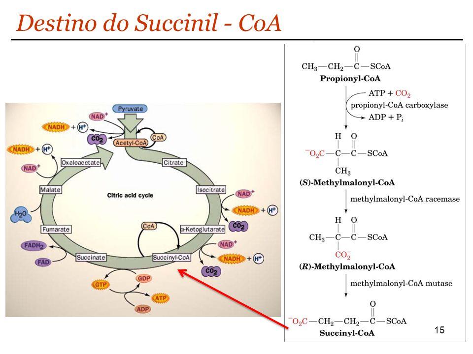 15 Destino do Succinil - CoA