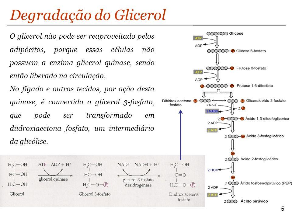 Degradação do Glicerol 5 O glicerol não pode ser reaproveitado pelos adipócitos, porque essas células não possuem a enzima glicerol quinase, sendo então liberado na circulação.