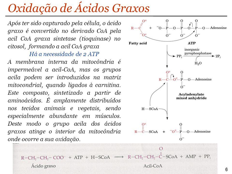 Após ter sido capturado pela célula, o ácido graxo é convertido no derivado CoA pela acil CoA graxa sintetase (tioquinase) no citosol, formando a acil CoA graxa Há a necessidade de 2 ATP A membrana interna da mitocôndria é impermeável a acil-CoA, mas os grupos acila podem ser introduzidos na matriz mitocondrial, quando ligados à carnitina.