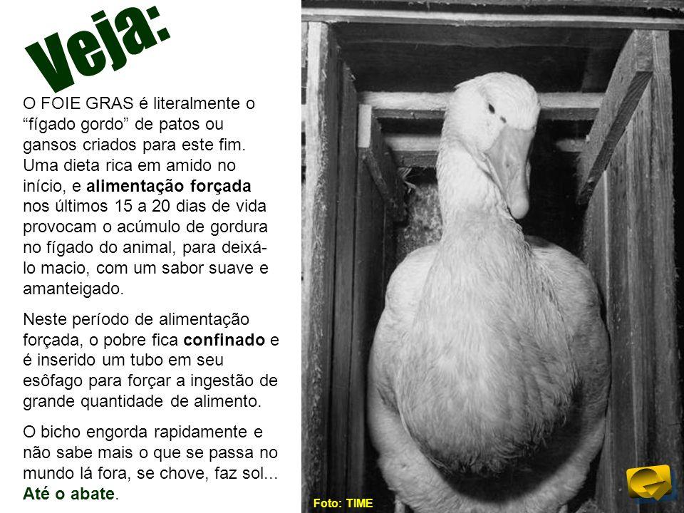 Veja: O FOIE GRAS é literalmente o fígado gordo de patos ou gansos criados para este fim. Uma dieta rica em amido no início, e alimentação forçada nos