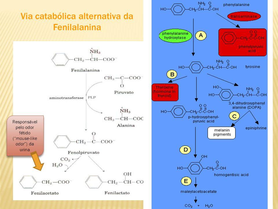 Via catabólica alternativa da Fenilalanina Responsável pelo odor fétido (mouse-like odor) da urina
