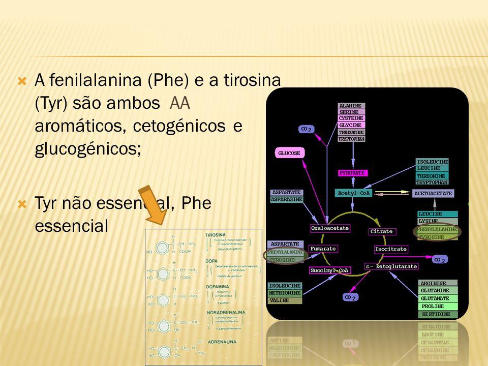 A fenilalanina (Phe) e a tirosina (Tyr) são ambos AA aromáticos, cetogénicos e glucogénicos; Tyr não essencial, Phe essencial