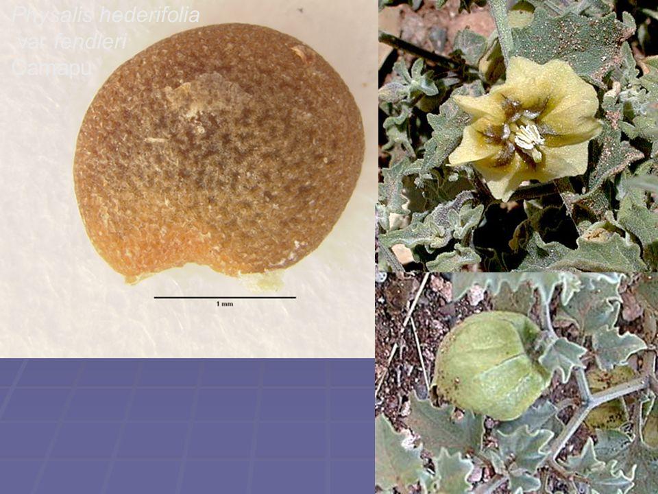 Physalis hederifolia var fendleri Camapu