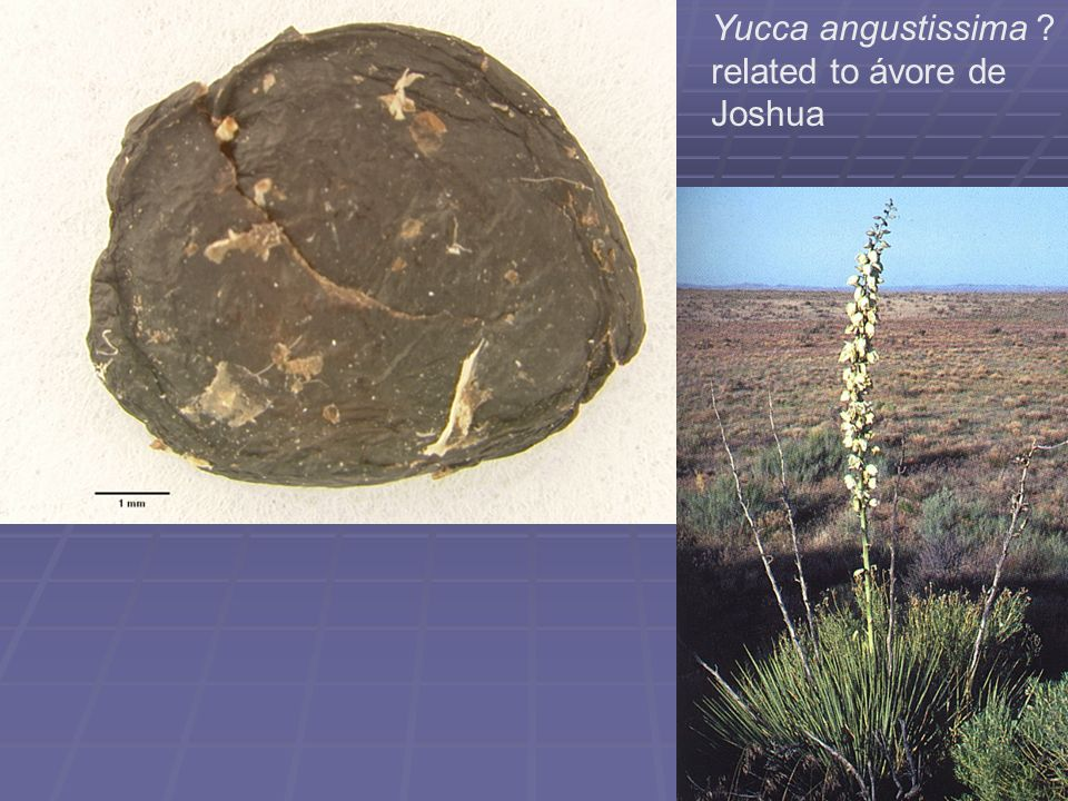 Yucca angustissima ? related to ávore de Joshua