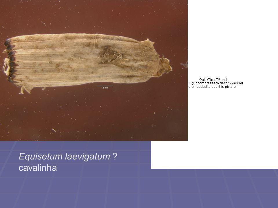 Equisetum laevigatum ? cavalinha