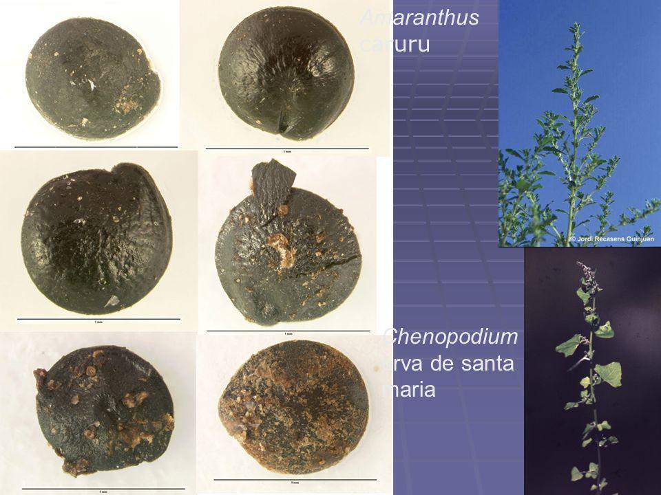 Chenopodium erva de santa maria Amaranthus caruru