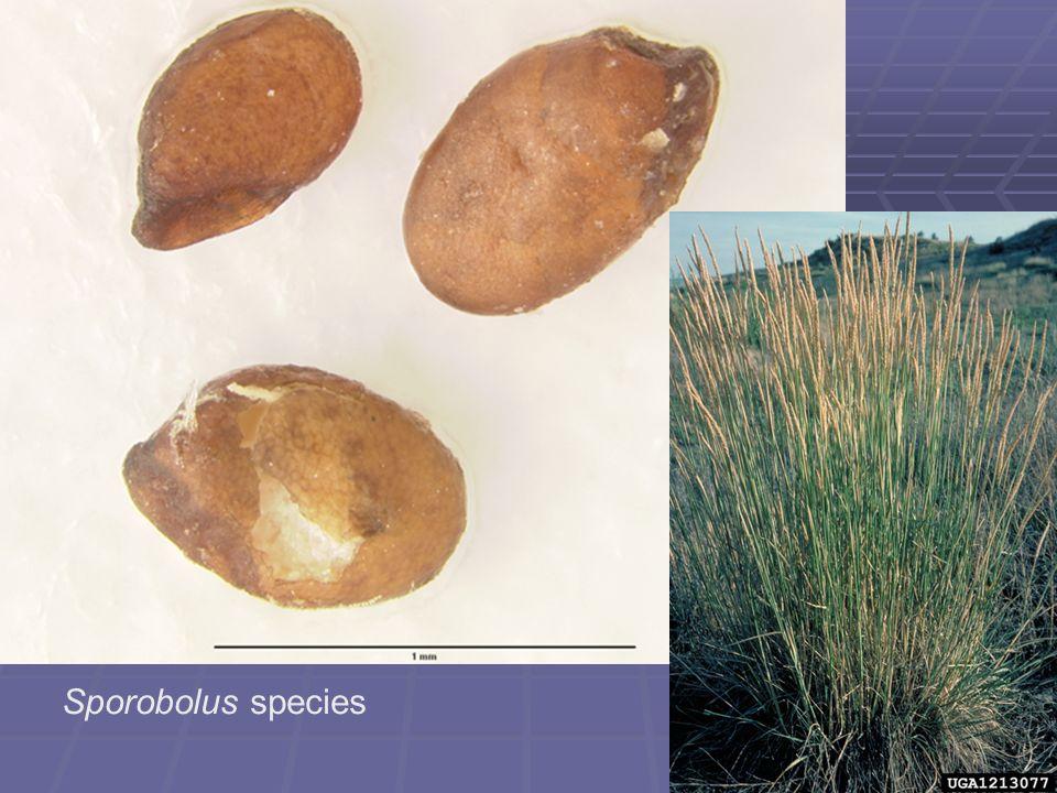 Sporobolus species
