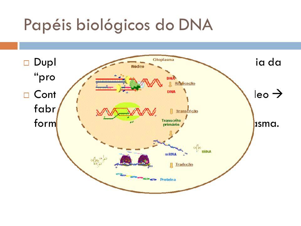 Papéis biológicos do DNA Duplicação: cada célula filha recebe uma cópia da programação hereditária; Controle da síntese de proteínas: DNA do núcleo fa