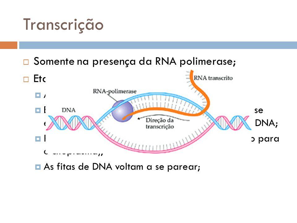 Transcrição Somente na presença da RNA polimerase; Etapas: Afastamento das fitas de DNA; Entram nucleotídeos livres de RNA (com ribose) e se encaixam