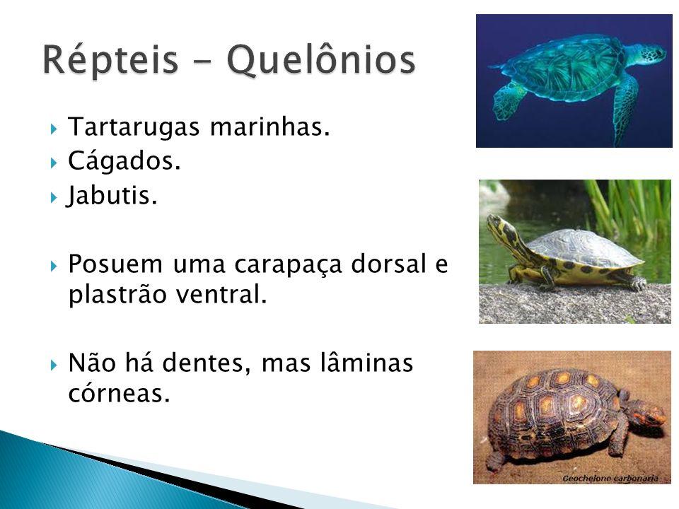 Tartarugas marinhas. Cágados. Jabutis. Posuem uma carapaça dorsal e plastrão ventral. Não há dentes, mas lâminas córneas.