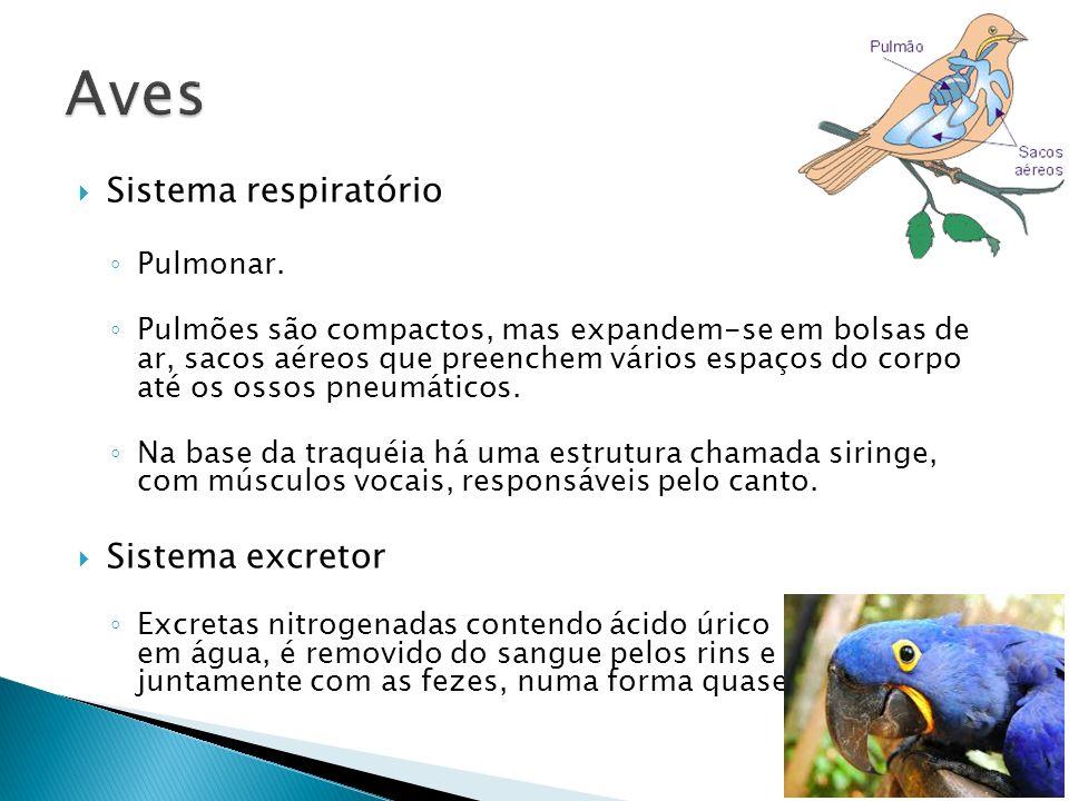 Sistema respiratório Pulmonar. Pulmões são compactos, mas expandem-se em bolsas de ar, sacos aéreos que preenchem vários espaços do corpo até os ossos
