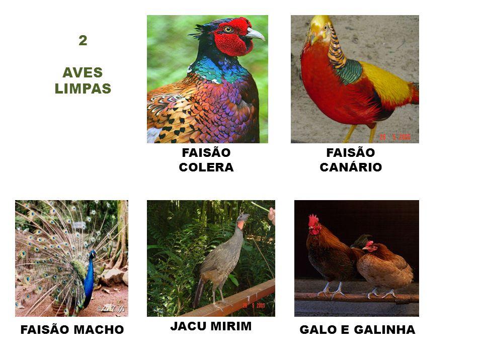 2 AVES LIMPAS FAISÃO CANÁRIO FAISÃO COLERA FAISÃO MACHO JACU MIRIM GALO E GALINHA