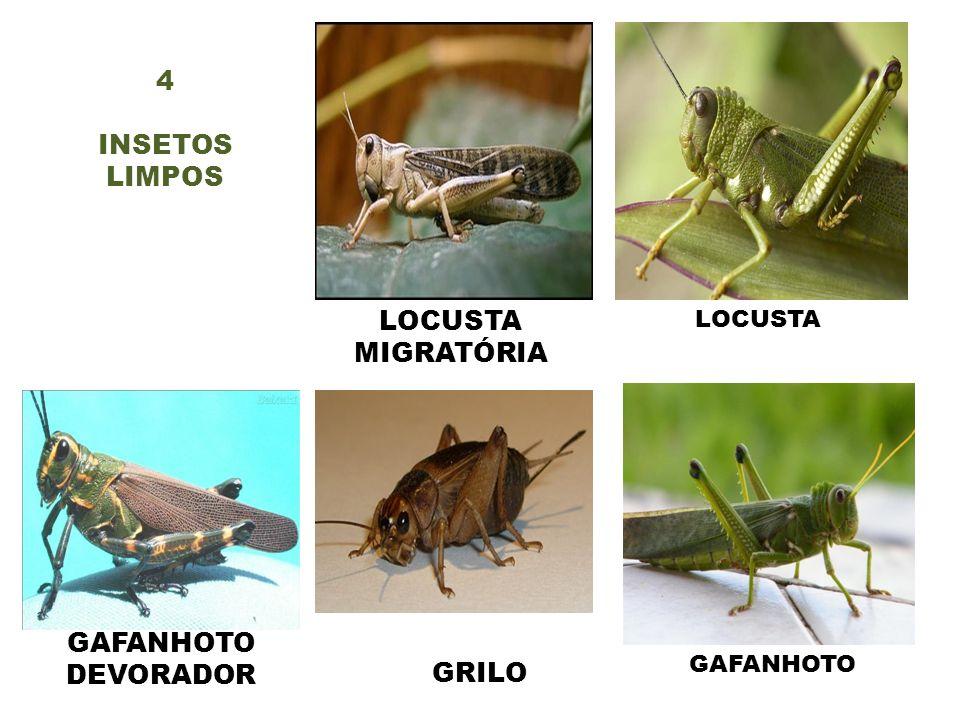 GAFANHOTO DEVORADOR GRILO GAFANHOTO LOCUSTA MIGRATÓRIA 4 INSETOS LIMPOS LOCUSTA