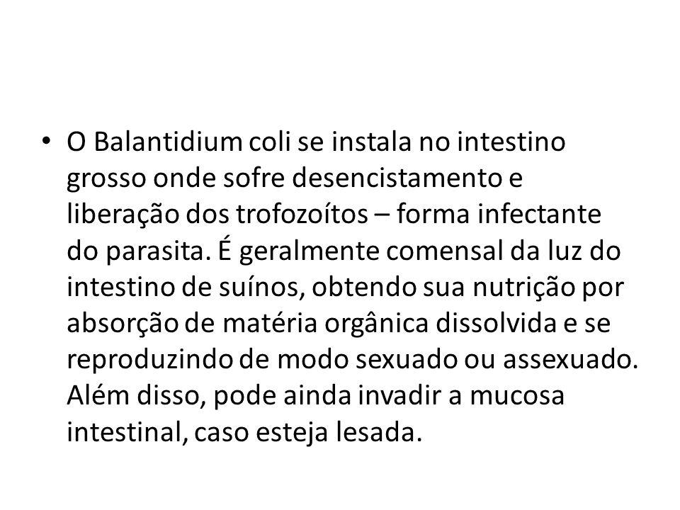 O Balantidium coli se instala no intestino grosso onde sofre desencistamento e liberação dos trofozoítos – forma infectante do parasita. É geralmente
