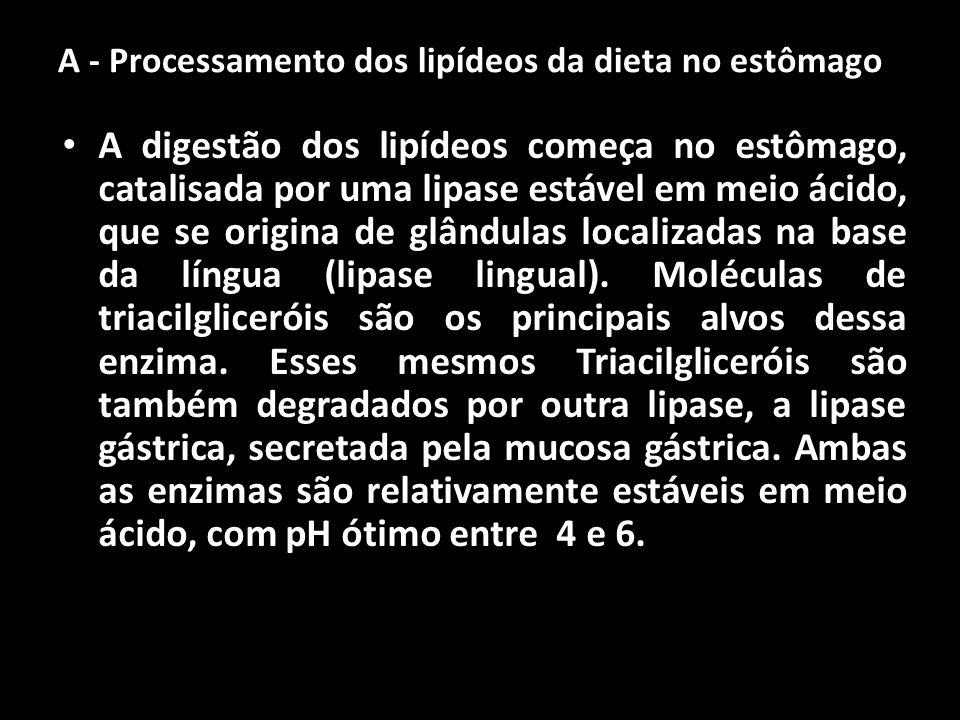 A - Processamento dos lipídeos da dieta no estômago A digestão dos lipídeos começa no estômago, catalisada por uma lipase estável em meio ácido, que s