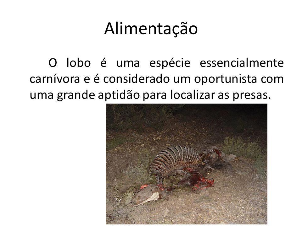 Alimentação Em Portugal as presas selvagens do lobo são o veado, o corço e o javali.