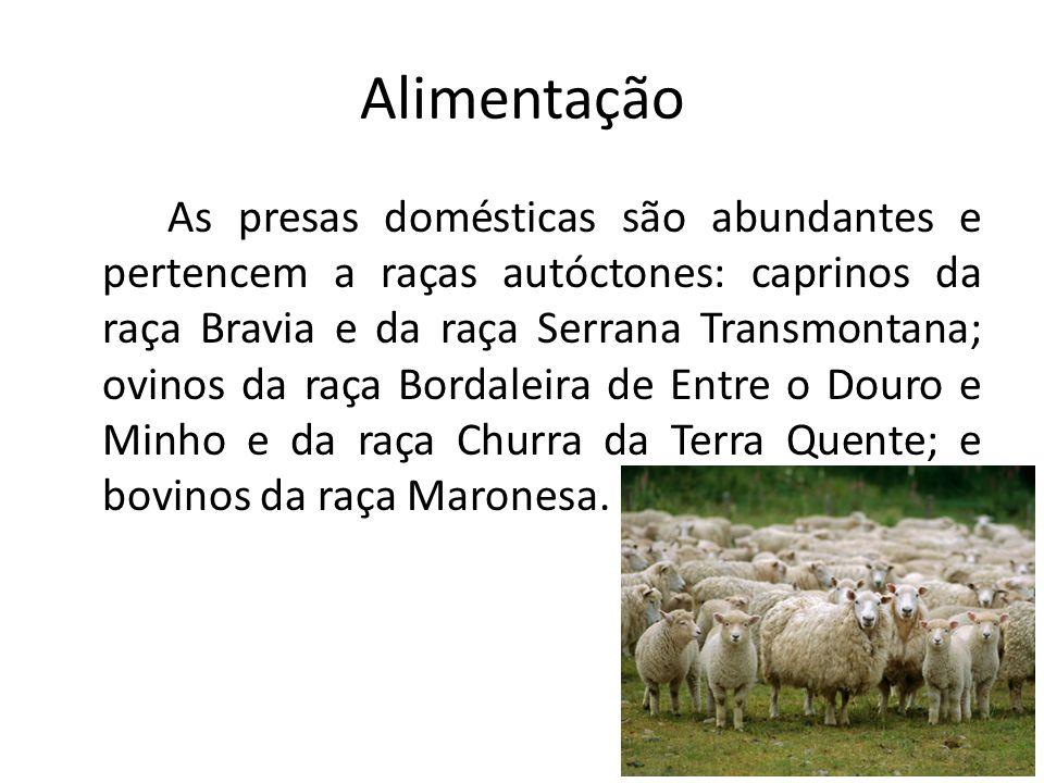 Alimentação As presas domésticas são abundantes e pertencem a raças autóctones: caprinos da raça Bravia e da raça Serrana Transmontana; ovinos da raça